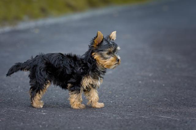 画像分類の予測サンプル画像(犬)